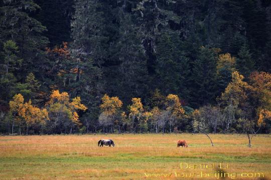 Những-khu-rừng-cổ-xưa-và-những-đồng-cỏ-vàng-rải-rác-những-con-ngựa-đang-gặm-cỏ